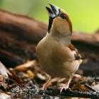 Naturaprop - Descobreix la fauna salvatge - d4174-durbec_alamany1.jpg