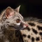 Naturaprop - Descobreix la fauna salvatge - d791d-geneta_1500x630.jpg